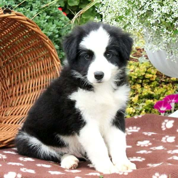 Bernie, Border Collie Mix Puppy
