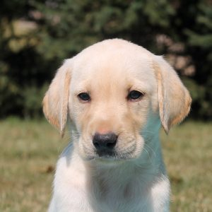 Biff, Labrador Retriever-Yellow Puppy