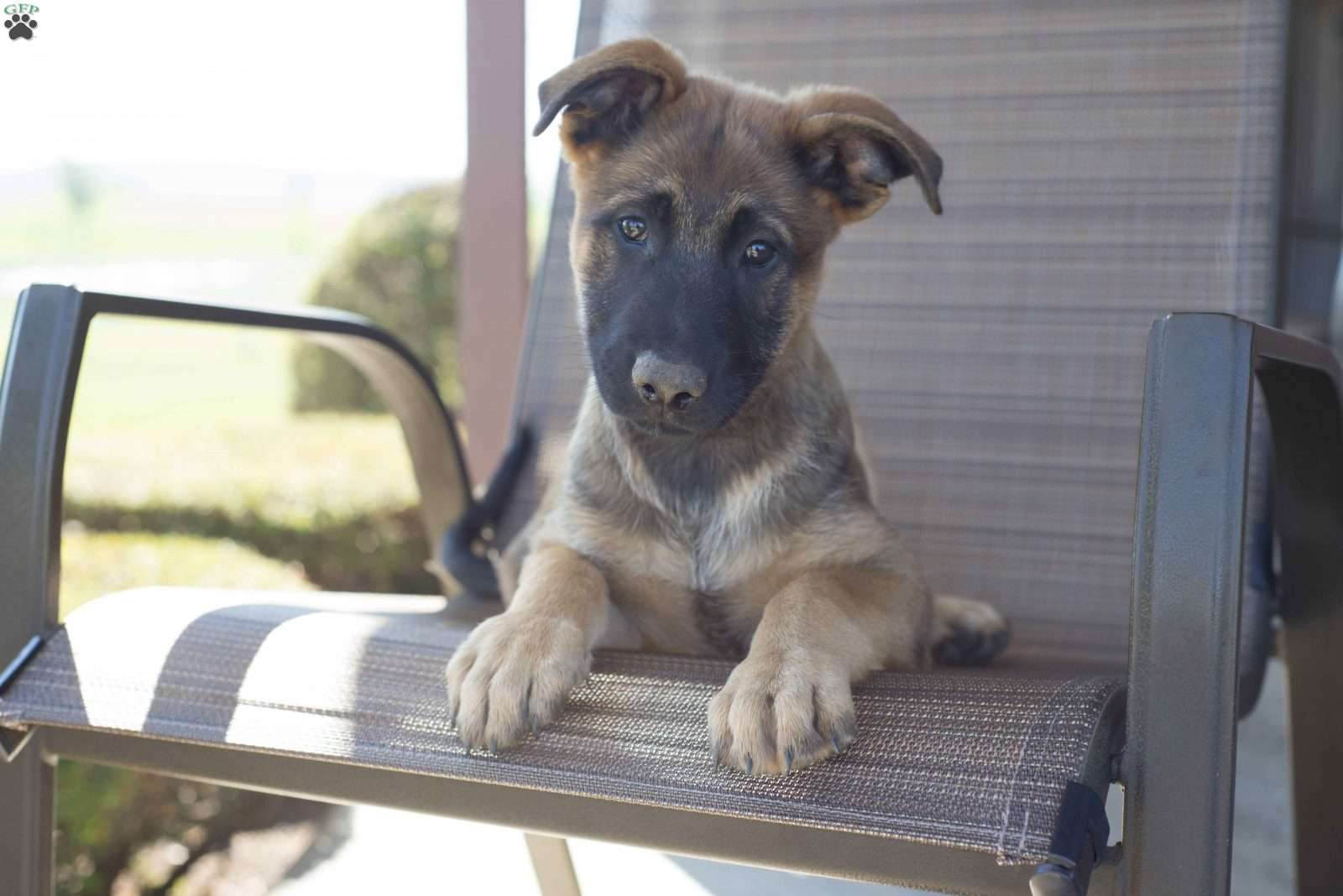 Wolf hybrid puppies for sale in ohio - Carlos German Shepherd Mix Puppy For Sale In Ohio