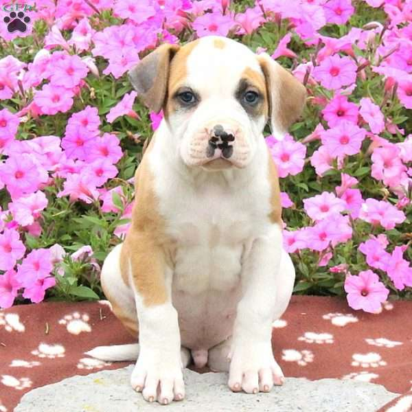 Duster, American Bulldog Puppy