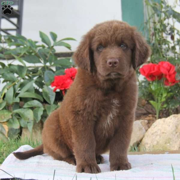 Randy, Newfoundland Puppy