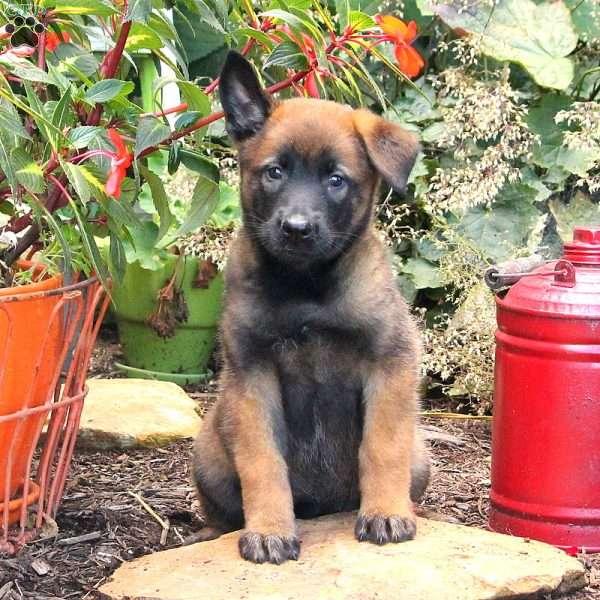 Teal, Belgian Malinois Puppy