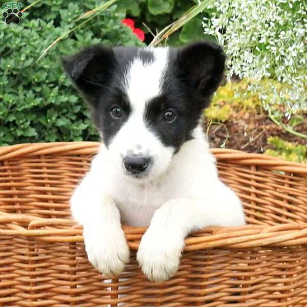 Tiny, Border Collie Mix Puppy