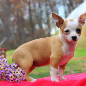 chihuahua for sale in pa chihuahua puppies for sale in de md ny nj philly dc and 4194