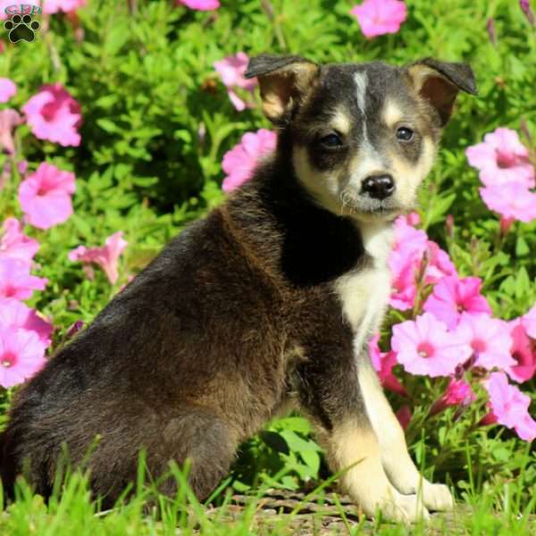 Canyon, Border Collie Mix Puppy