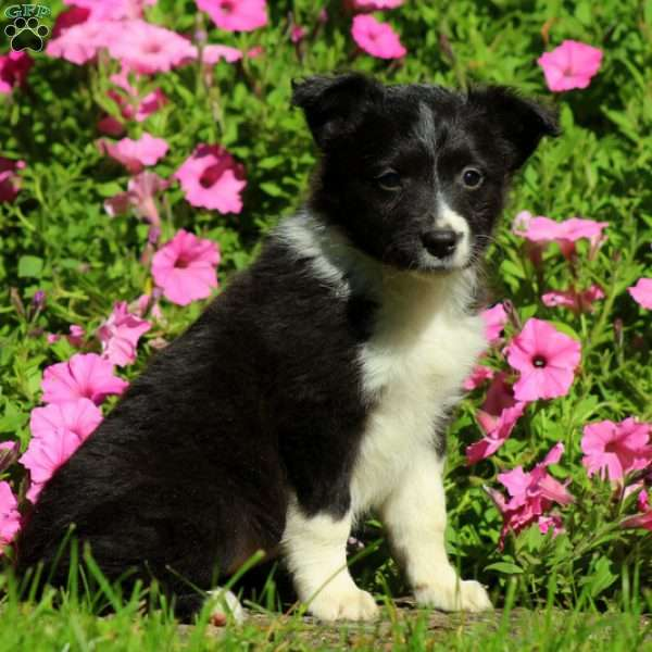 Cecelia, Border Collie Mix Puppy
