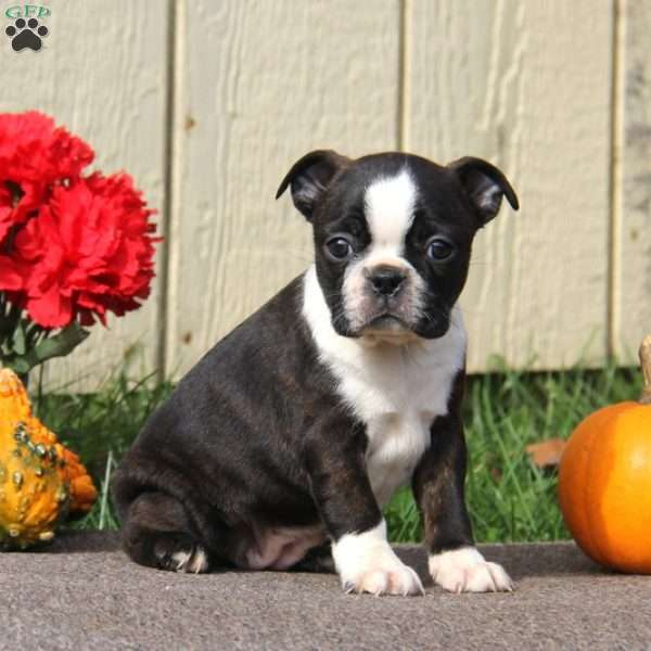 Janie, Boston Terrier Puppy