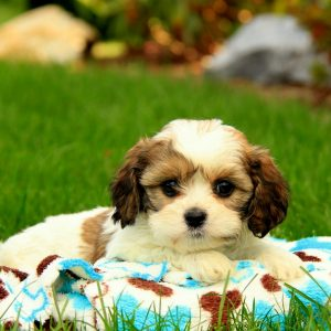 Cavachon Puppies For Sale In Maryland USA