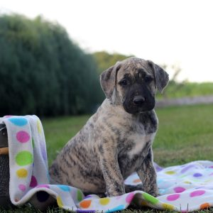 Presa Canario Puppies For Sale In De Md Ny Nj Philly Dc And Baltimore