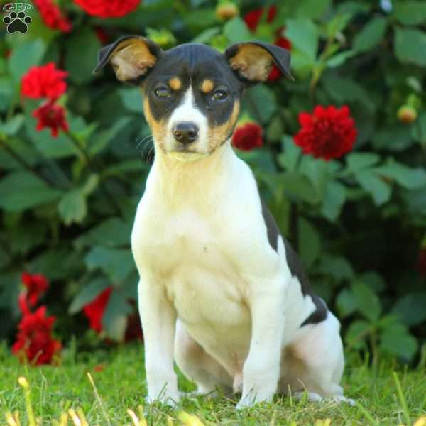 odie smooth fox terrier puppy for sale in pennsylvania