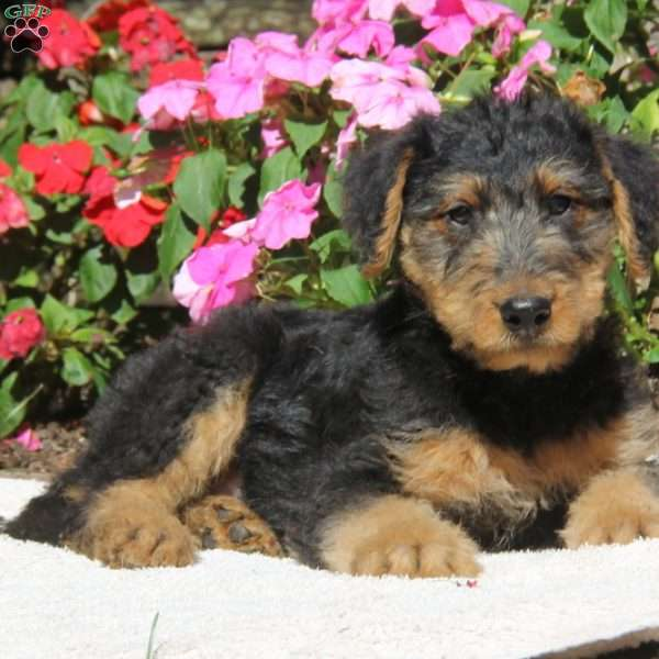 Sparky  Airedale Terrier Puppy For Sale in Pennsylvania