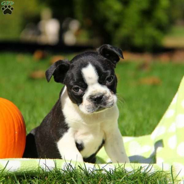 Timber, Boston Terrier Puppy