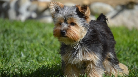 3 Pet Care Hacks for Your Yorkie-Pin Puppies