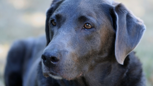 Pet Care Hacks for Your Silver Labs