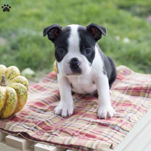 Charlie, Boston Terrier Puppy