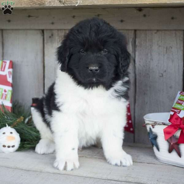 Colby, Newfoundland Puppy