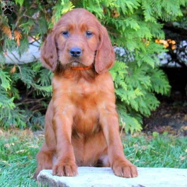 Irish Setter Puppies for Sale from Pennsylvania Breeders