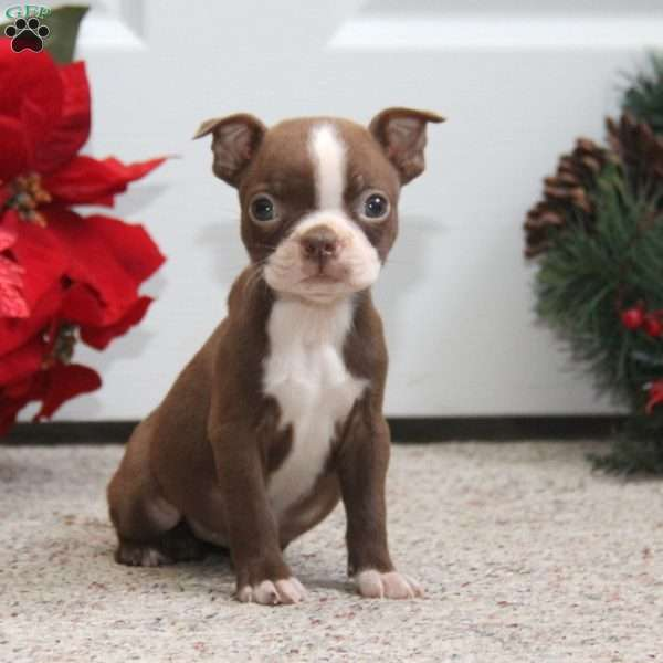 Ginny, Boston Terrier Puppy