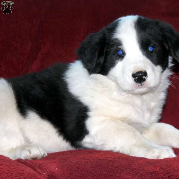 Keith, Border Collie Mix Puppy