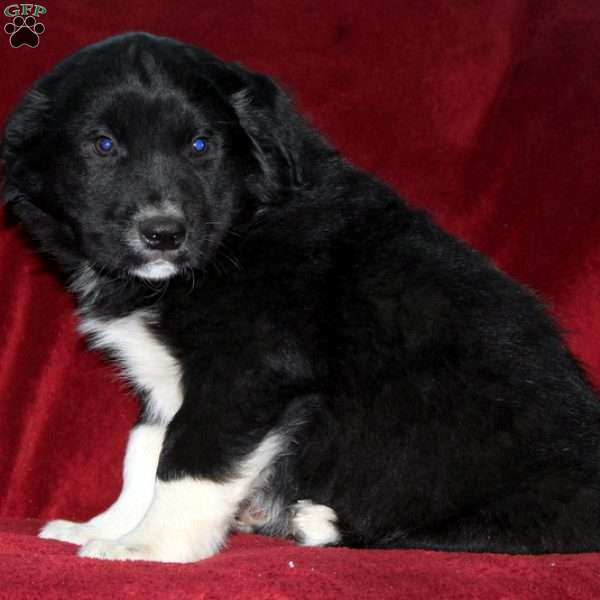 Kenny, Border Collie Mix Puppy