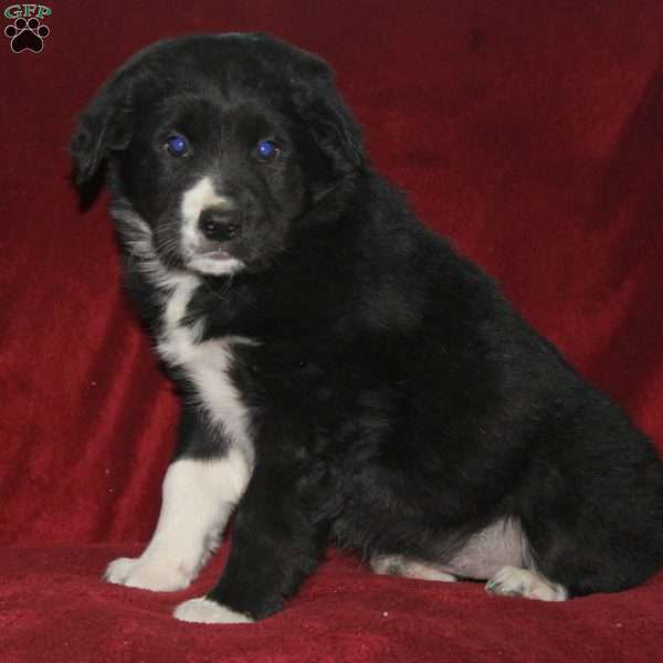 Kenzie, Border Collie Mix Puppy