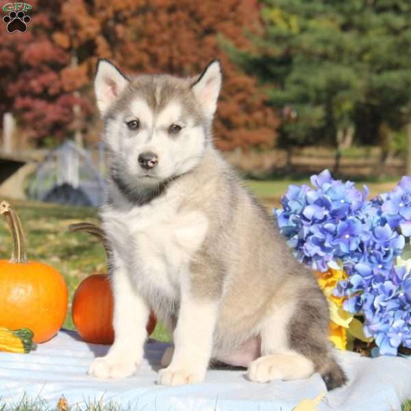 Lassie Alaskan Malamute Mix Puppy For Sale In Pennsylvania