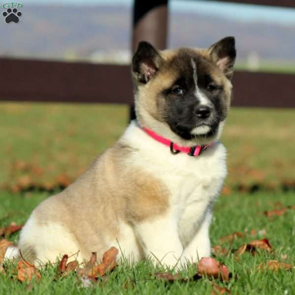 Lucy, Akita Puppy