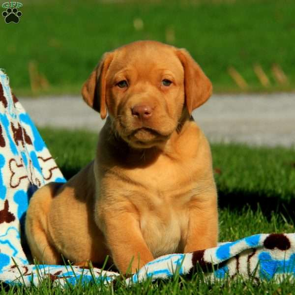 Mason, Labrador Retriever-Yellow Puppy