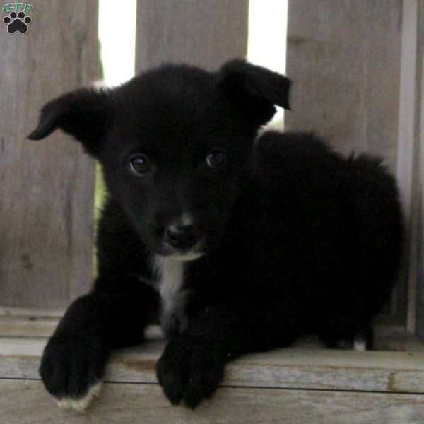 Max, Border Collie Mix Puppy