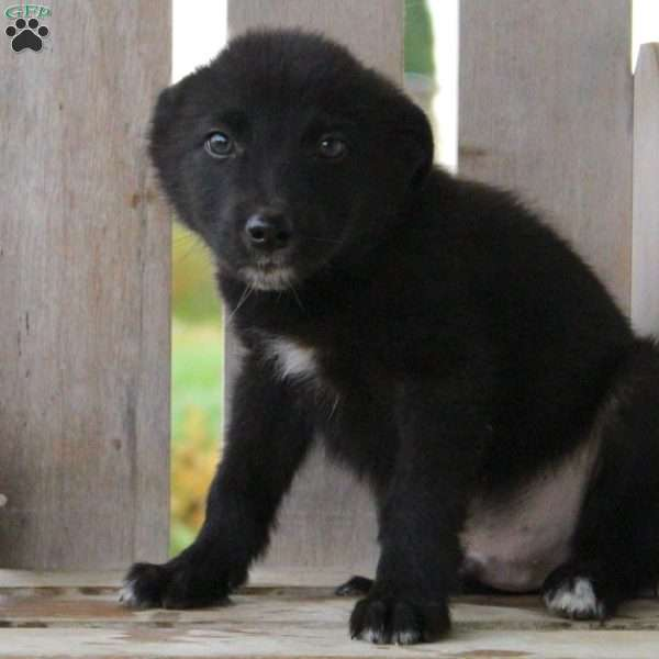 Mike, Border Collie Mix Puppy