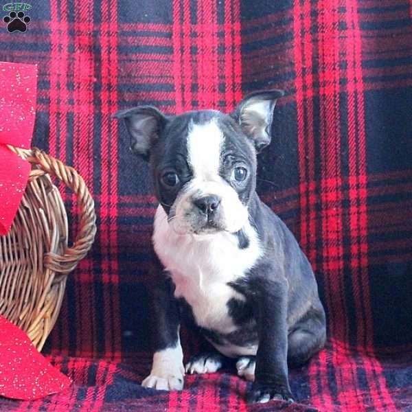 Millie, Boston Terrier Puppy