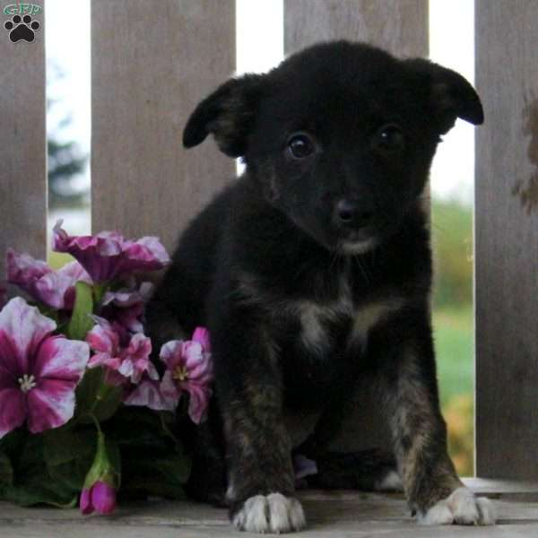 Mitzy, Border Collie Mix Puppy