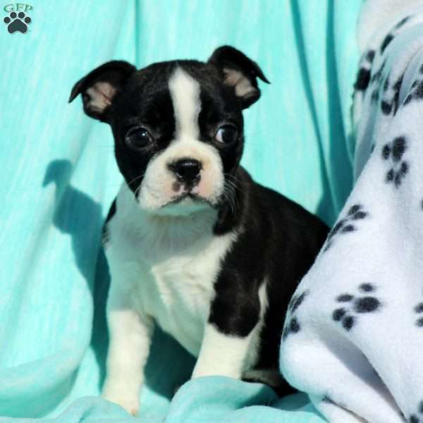 Quimby, Boston Terrier Puppy