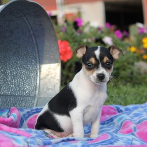 Rat Terrier Puppies For Sale Rat Terrier Breed Info Greenfield