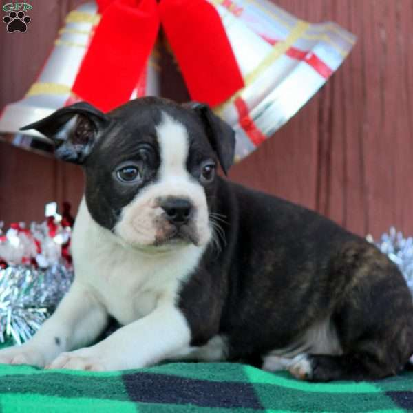 Remy, Boston Terrier Puppy