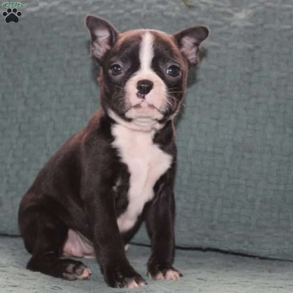 Lily, Boston Terrier Puppy