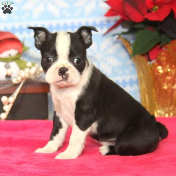 Alice, Boston Terrier Puppy