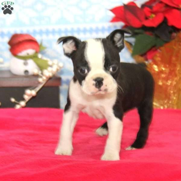Andy, Boston Terrier Puppy