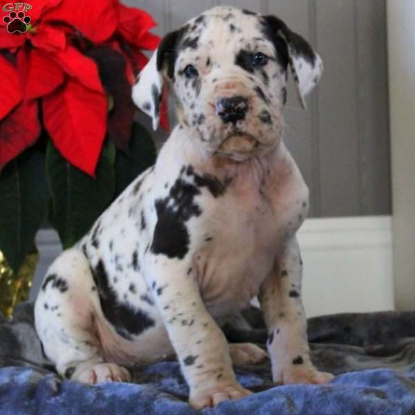 Anvil, Great Dane Puppy