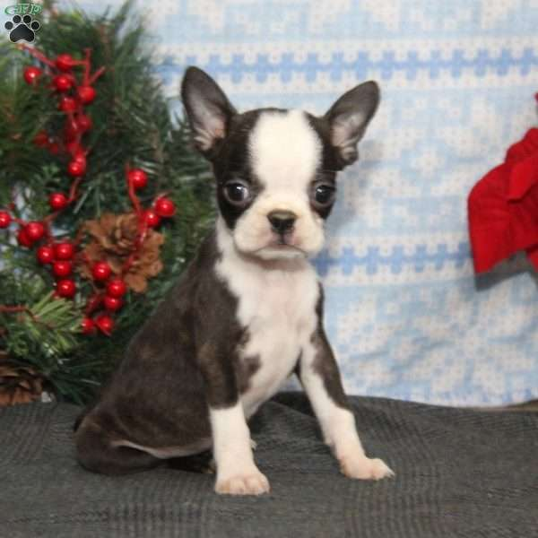 Bella, Boston Terrier Puppy