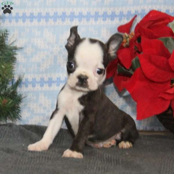 Buddy, Boston Terrier Puppy
