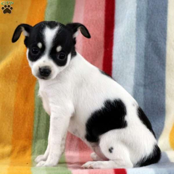 cece smooth fox terrier puppy for sale in pennsylvania