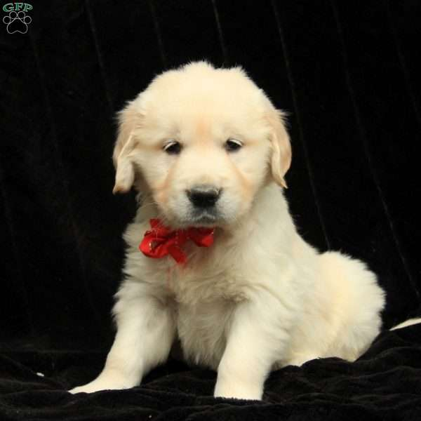 Charmer, Golden Retriever-English Cream Puppy