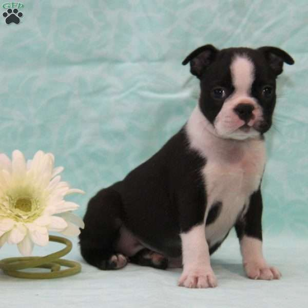 Darla, Boston Terrier Puppy