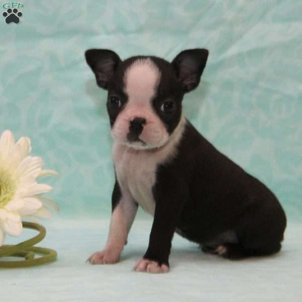 Dixie, Boston Terrier Puppy