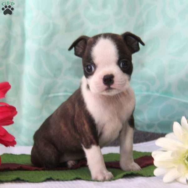 Eddie, Boston Terrier Puppy