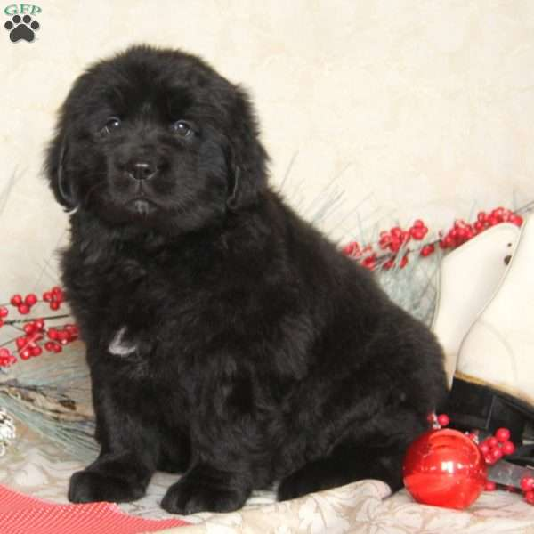 Hope, Newfoundland Puppy