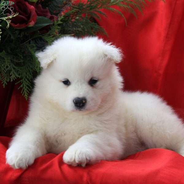 Jack, Samoyed Puppy