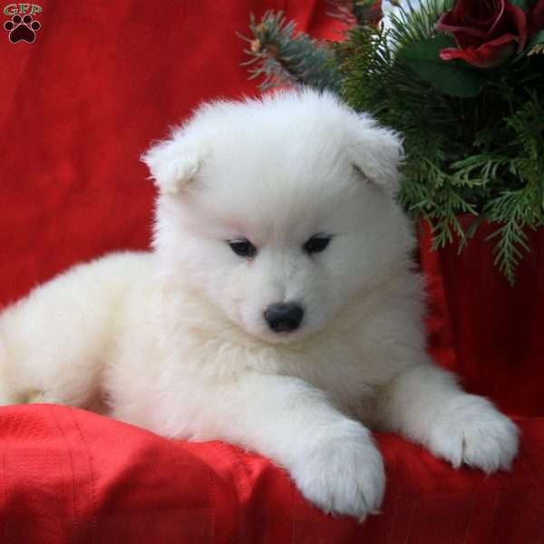 Jazzy, Samoyed Puppy