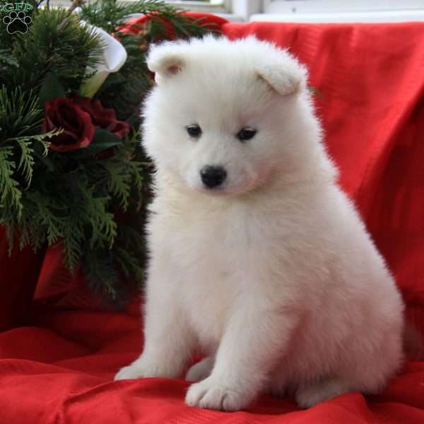 Jewels, Samoyed Puppy
